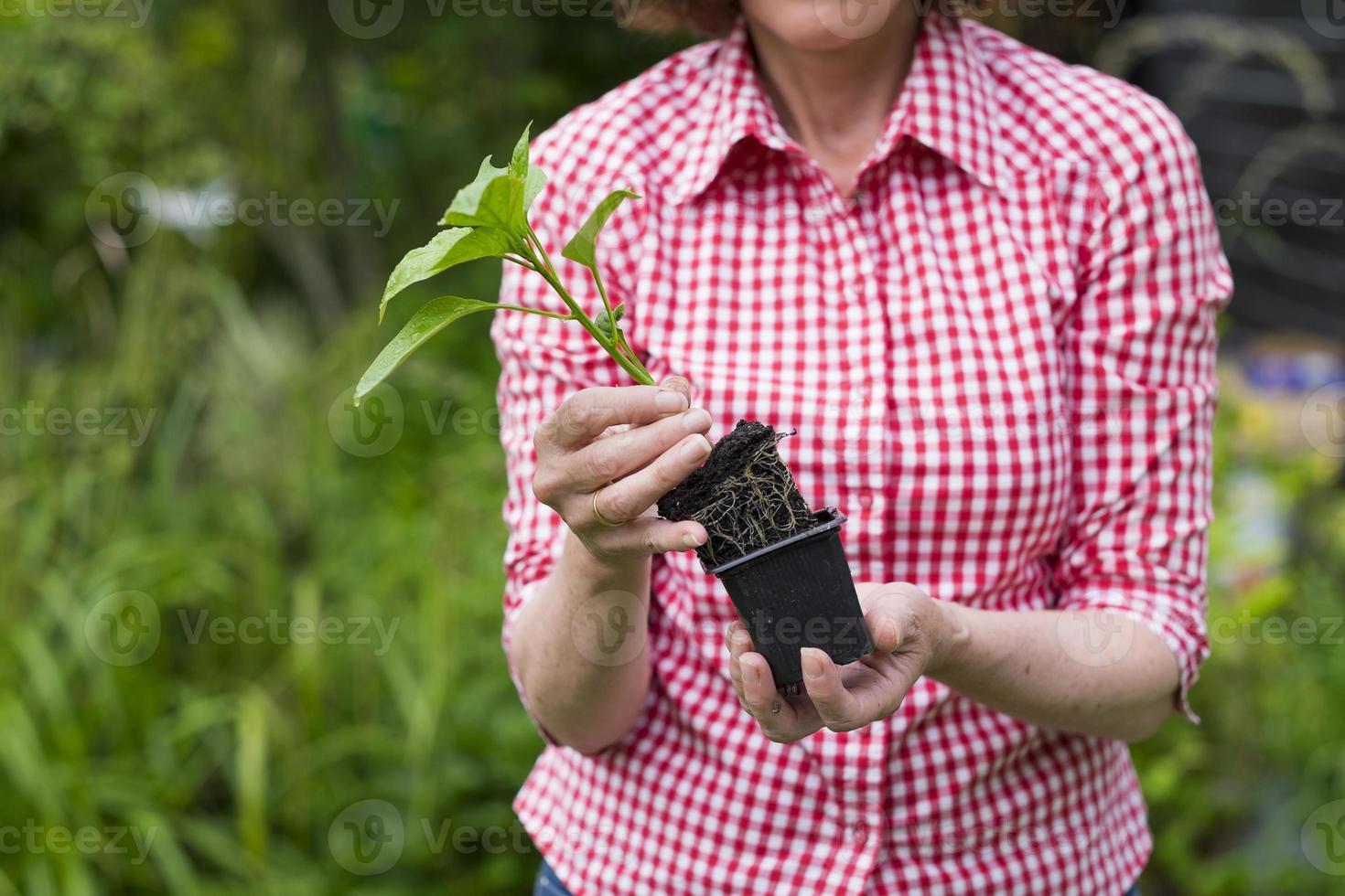 Nahaufnahme der älteren Frau, die eine Pflanze im Topf hält foto