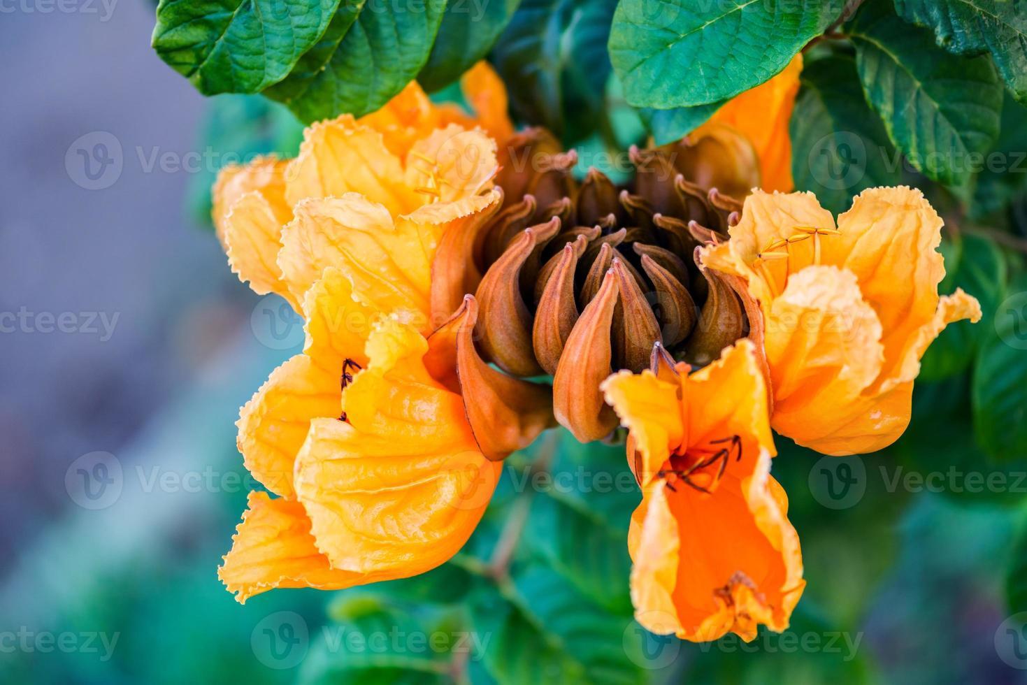 dekorative afrikanische Tulpenbaumblumenflamme des Waldes foto
