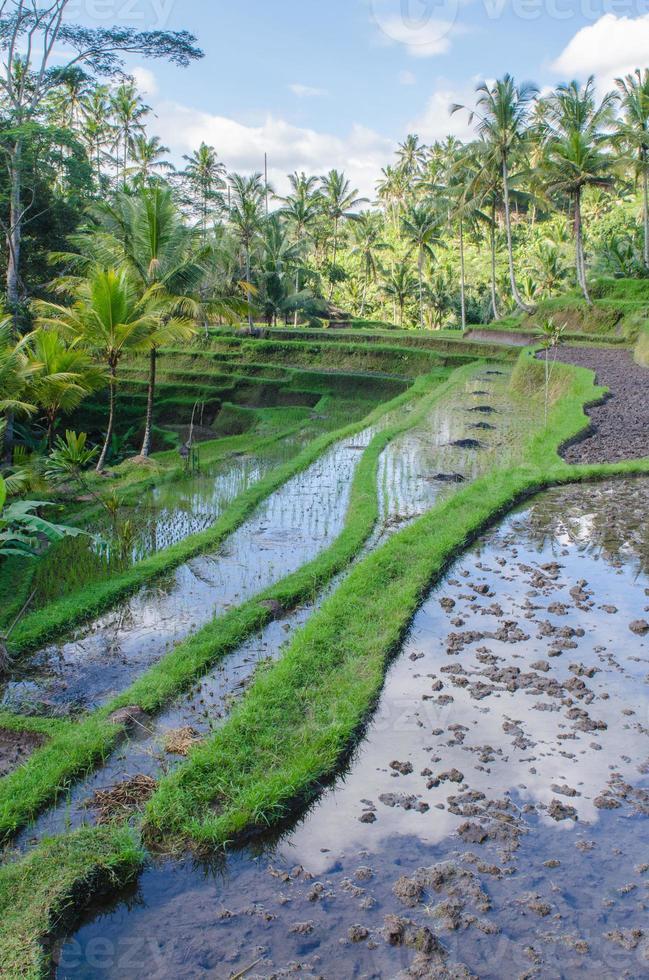 Reisfelder am Gunung Kawi Tempel in Bali foto
