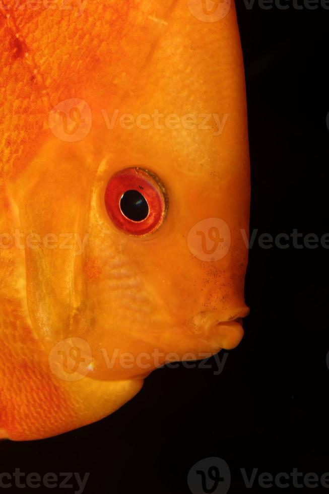 Diskusfischporträt foto