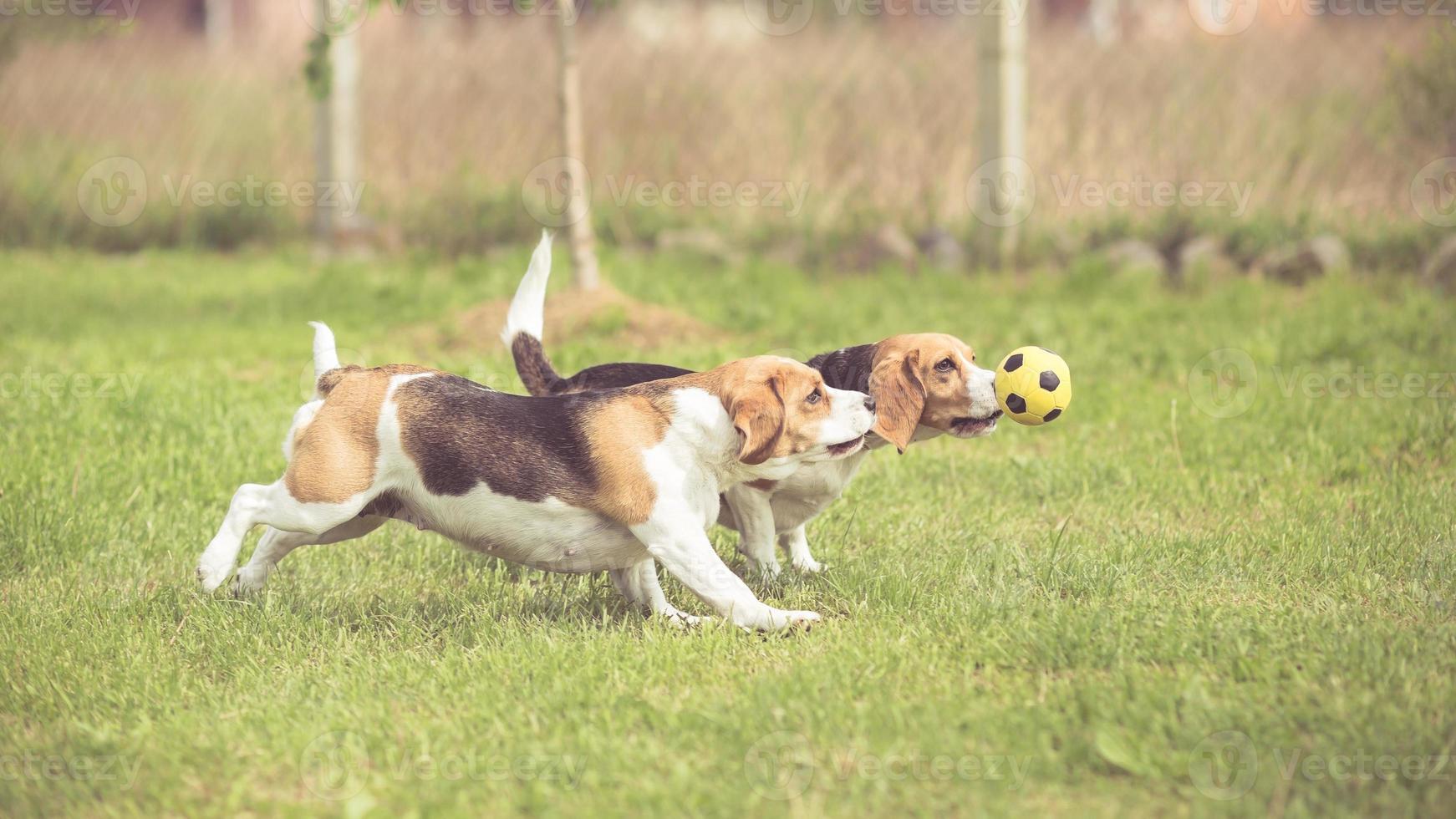 zwei Beagle-Hunde, die Fußball spielen foto