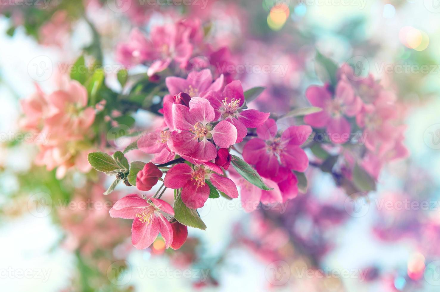 blühender Kirschbaum. schöne rosa Blumen. Retro-Stil getönt foto