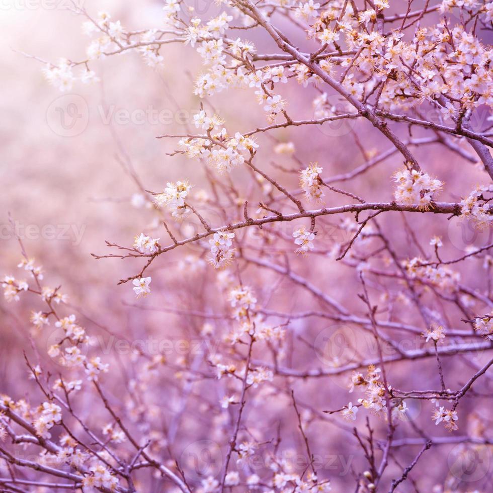 Kirschbaumblüte foto