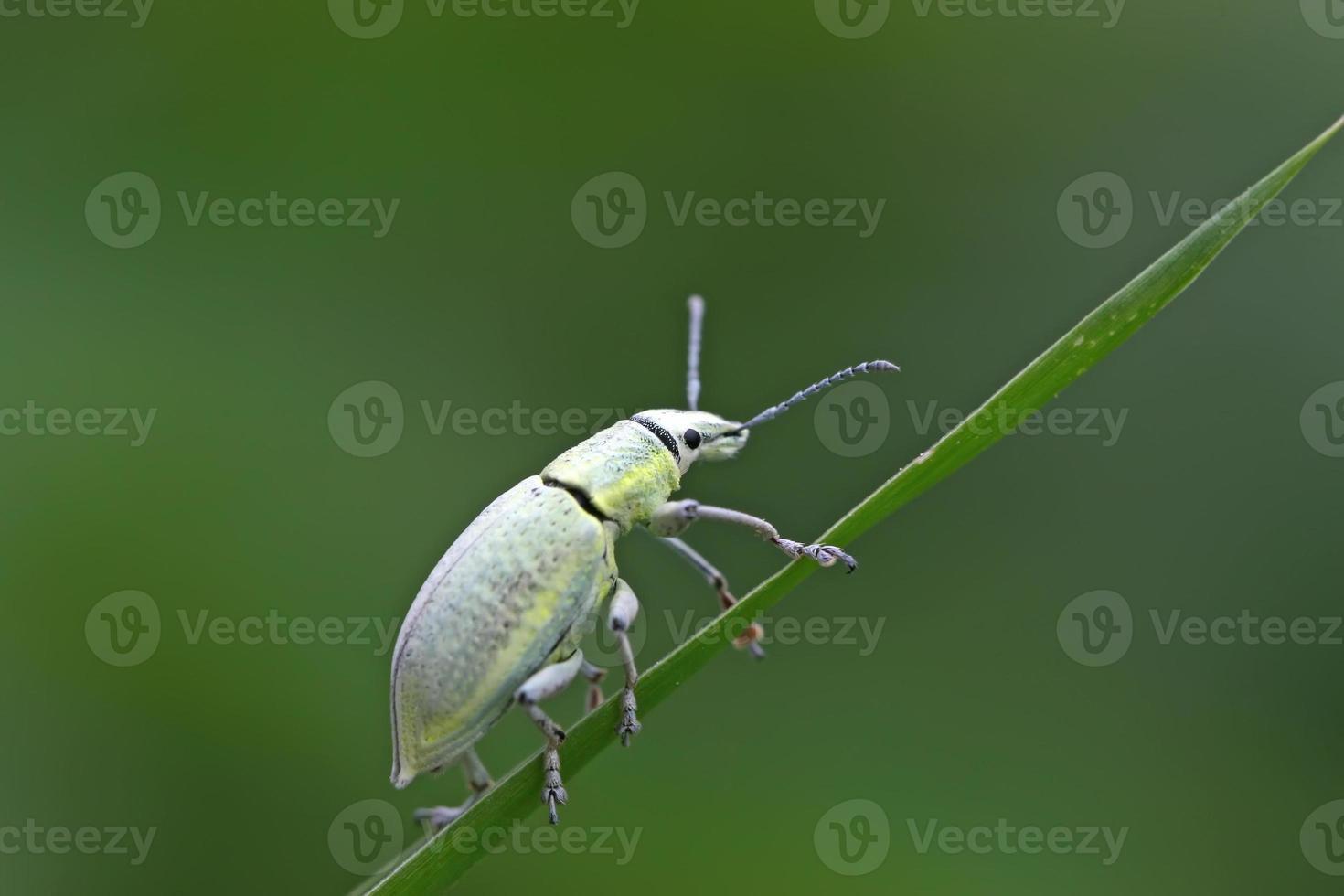 grüner Rüsselkäfer foto