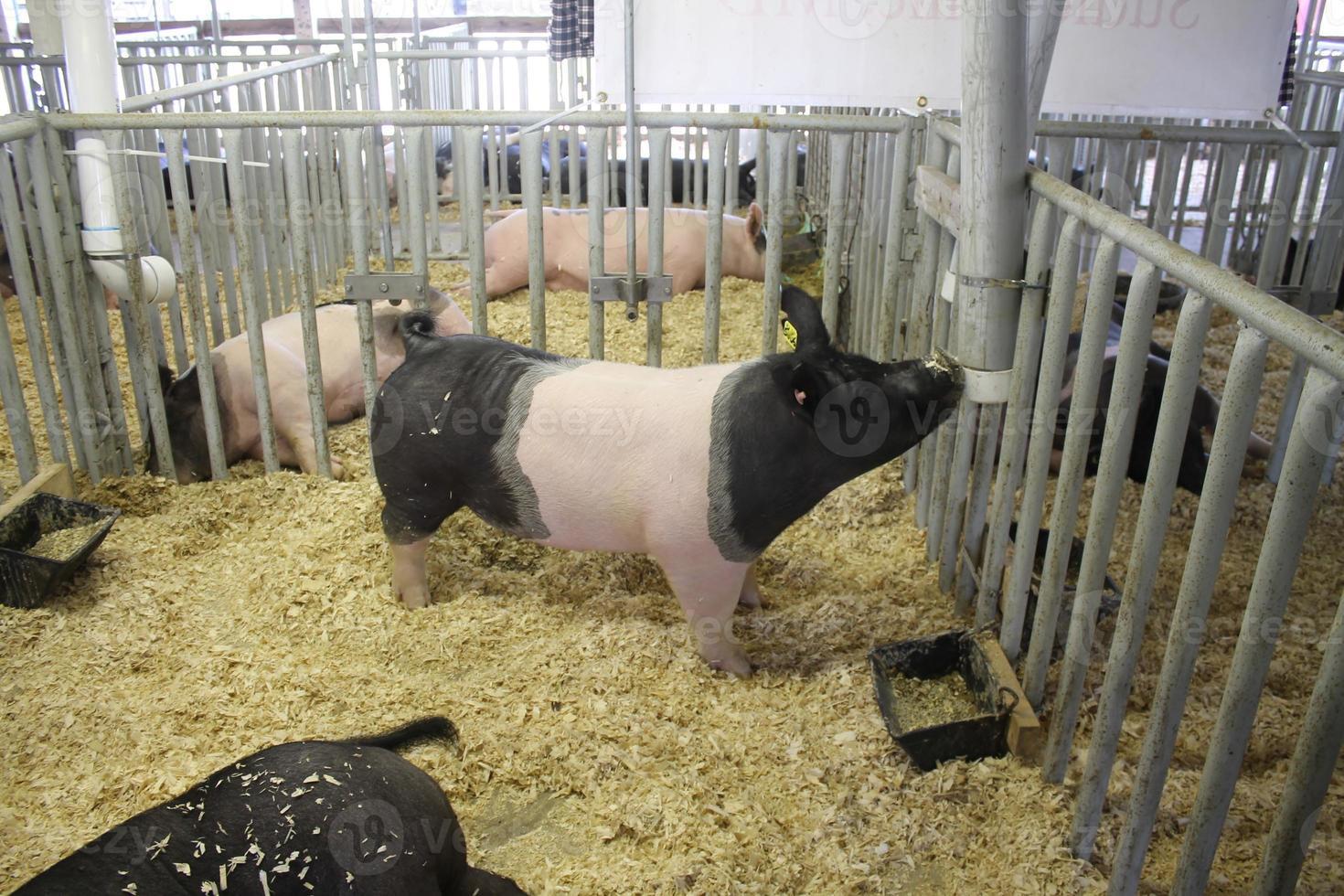 Schwein bekommt Wasser zu trinken foto