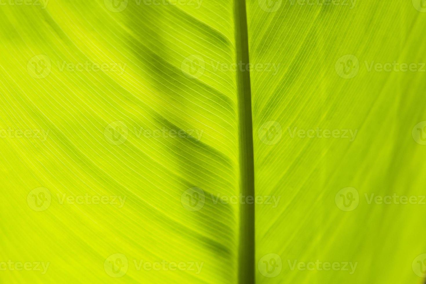 grünes Blatt von hinten beleuchtet foto