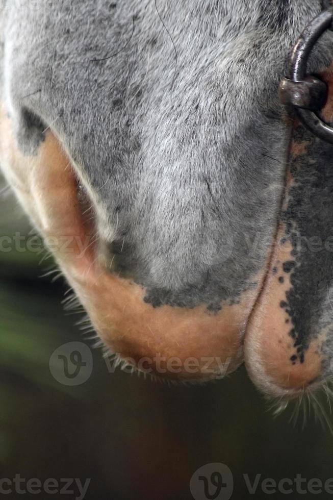 Lippen die Seite des Pferdes. Sibirien. foto