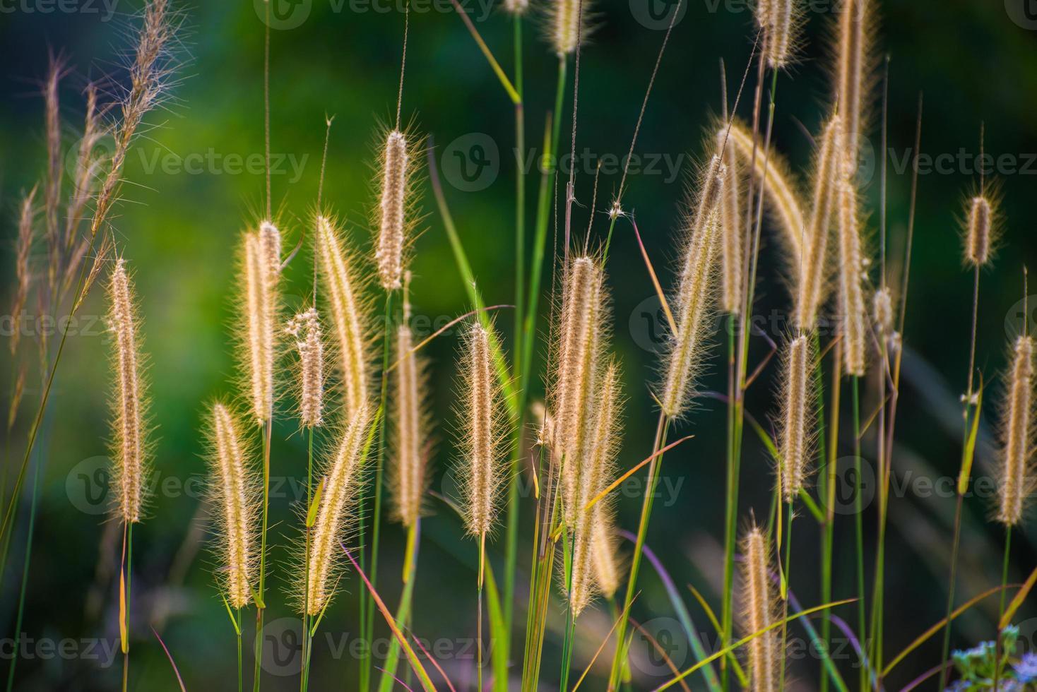 Gras von hinten beleuchtet foto