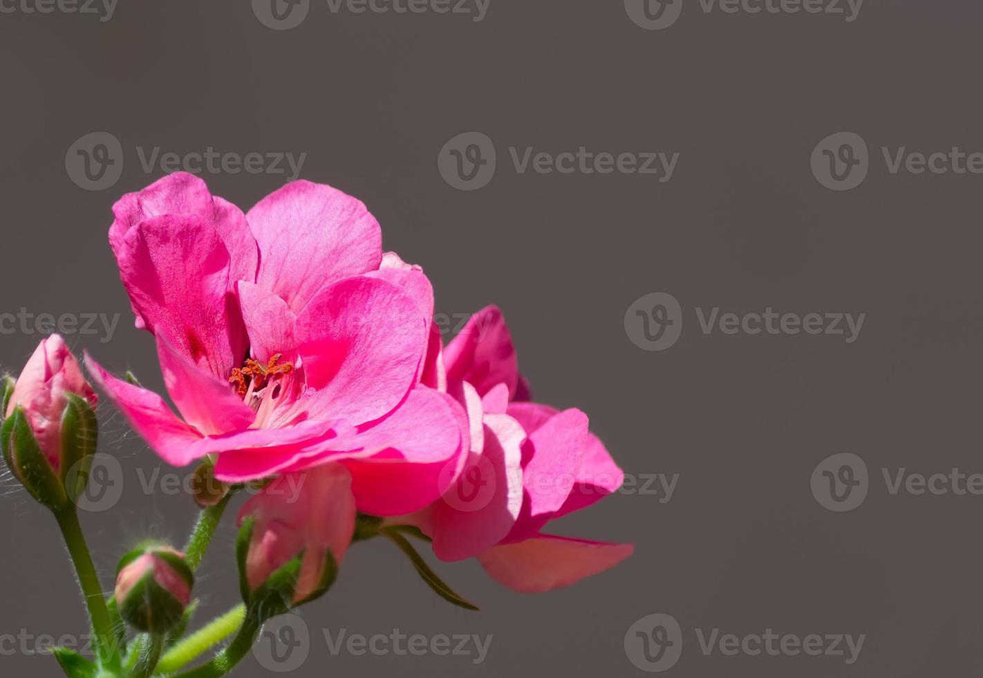 rosa Blume mit Copyspace foto