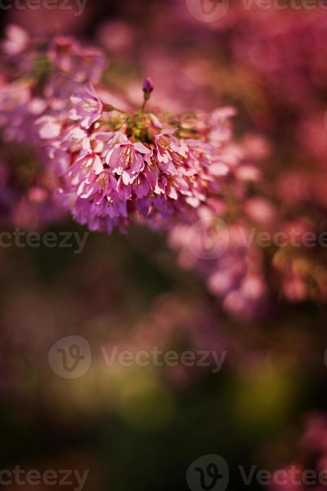 rosa blütenstand foto