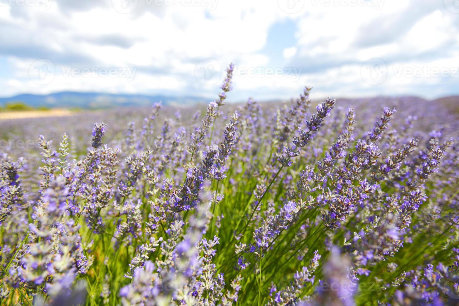 Lavendelblüten hautnah foto