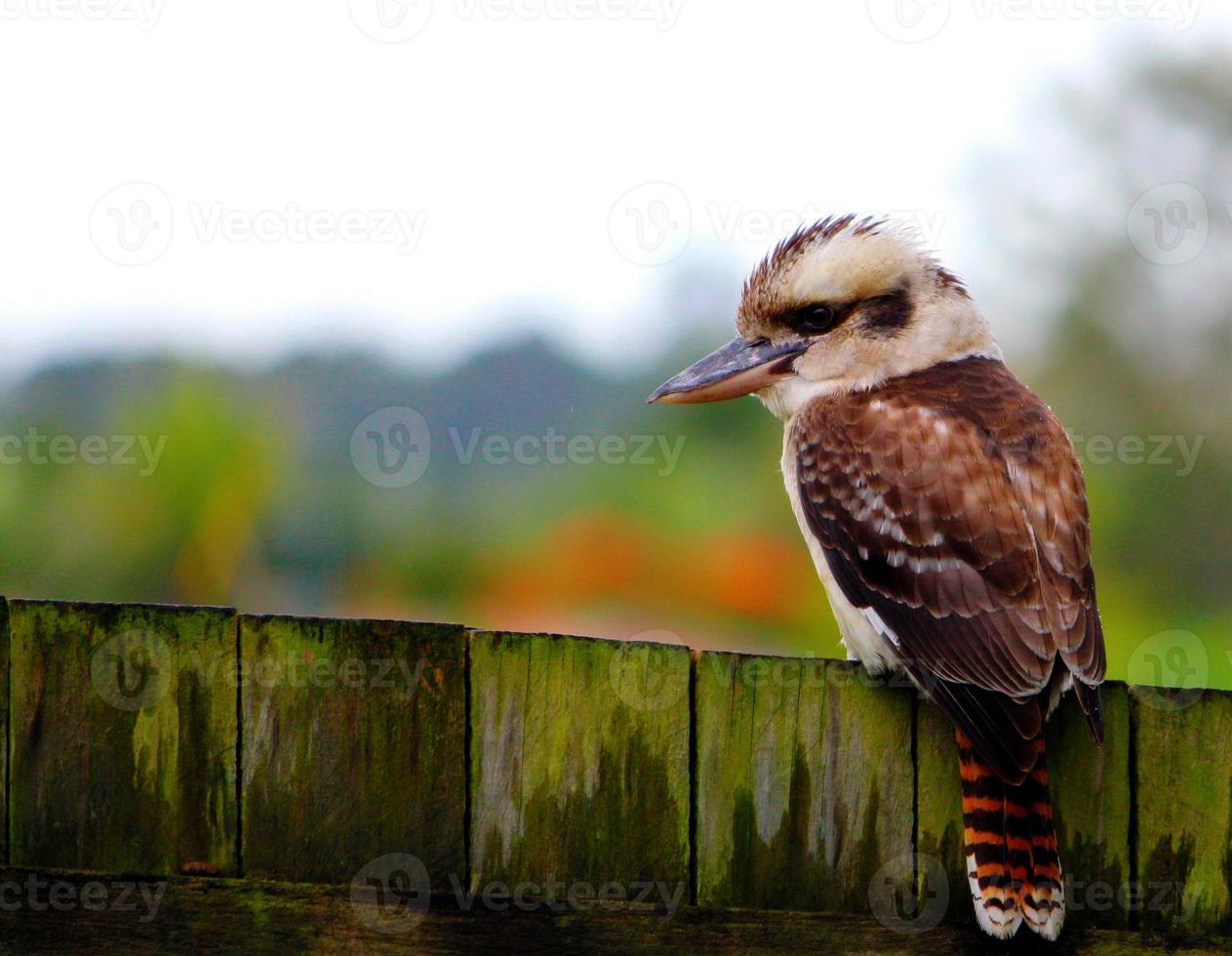 Kookabura sitzt auf Zaun foto