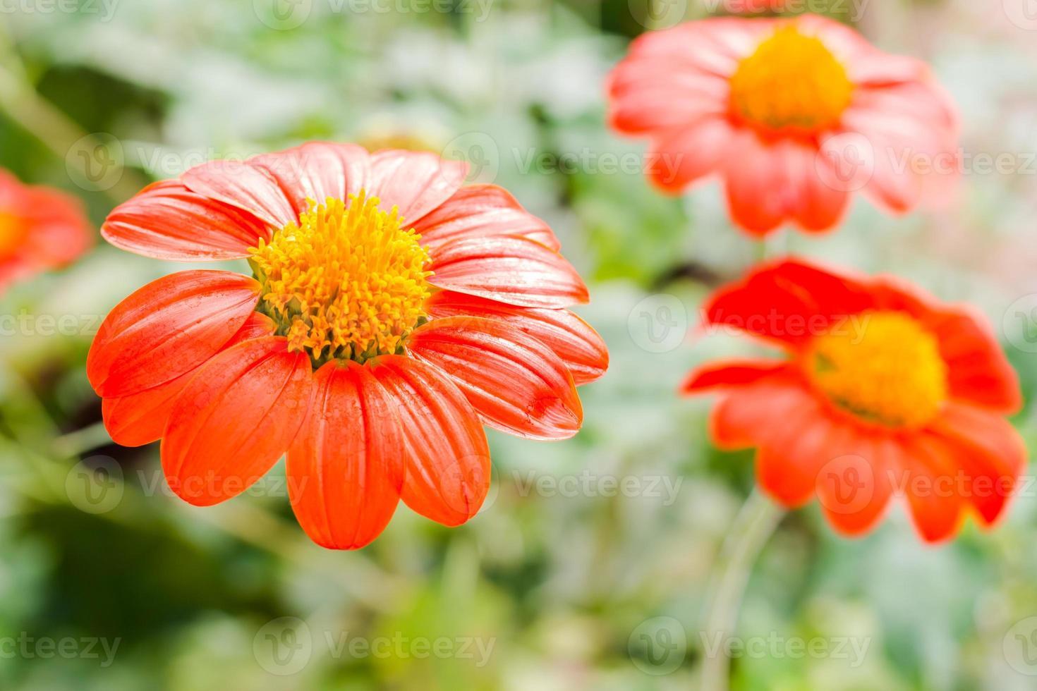 Nahaufnahme mexikanische Sonnenblume, foto