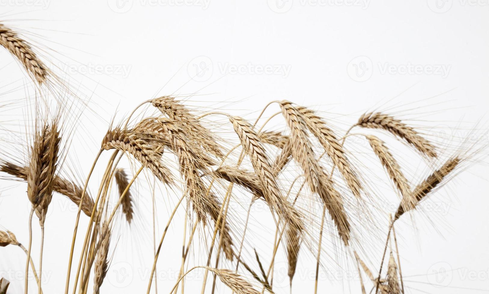 Weizennahaufnahme 1 foto