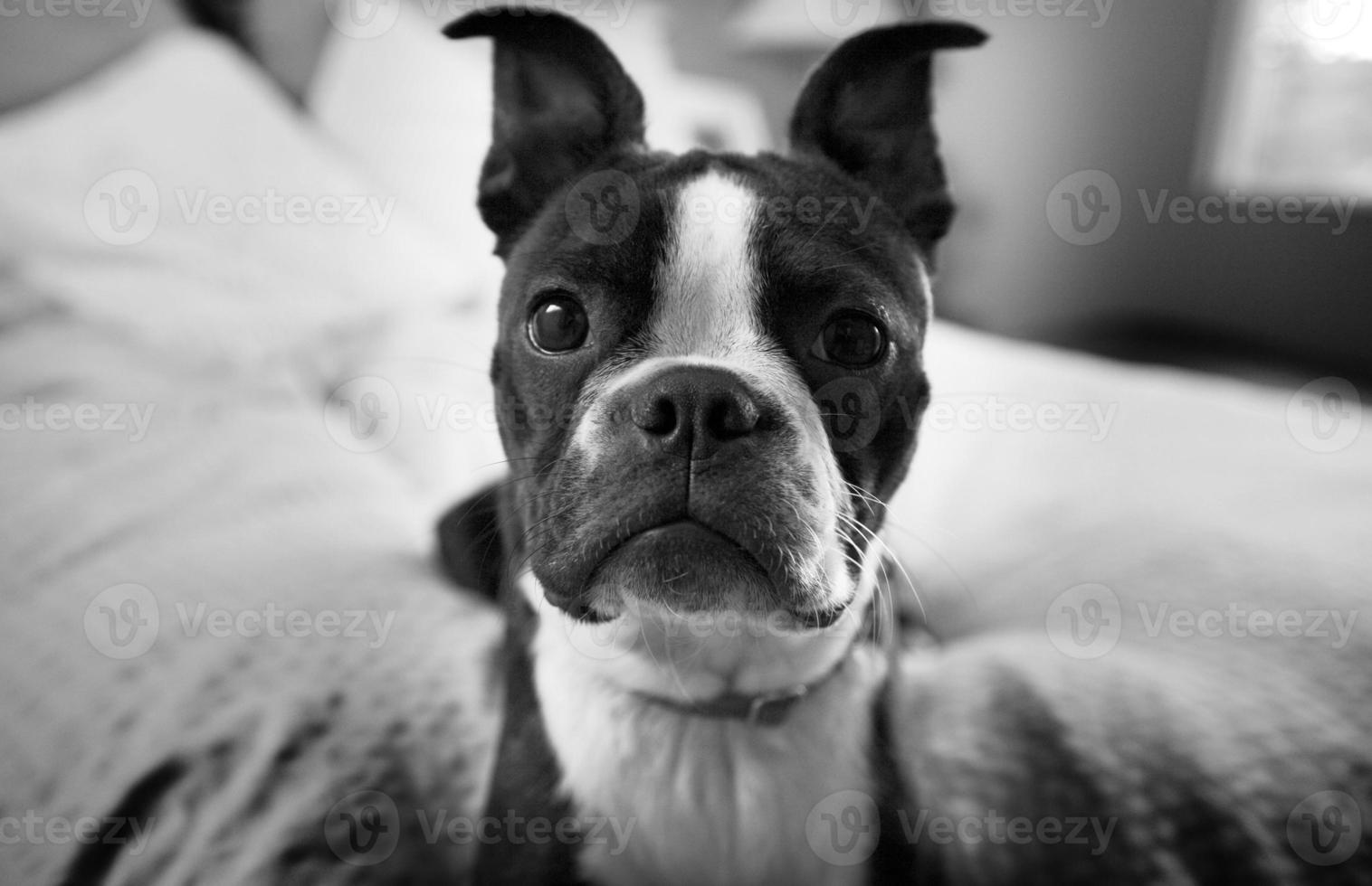 Boston Terrier hautnah foto