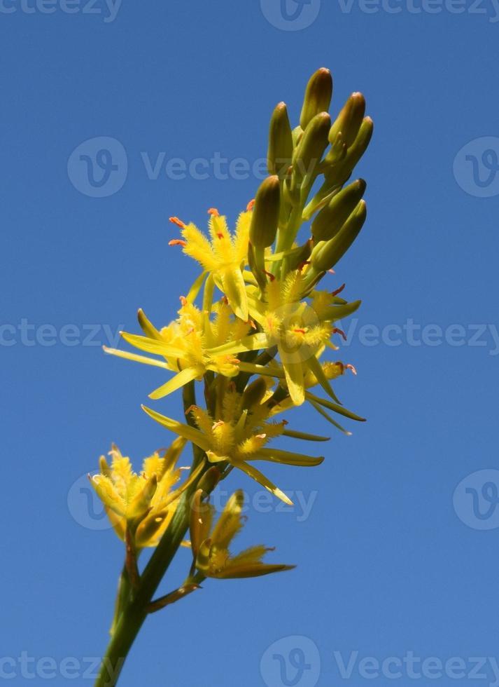 Moor asphodel aus nächster Nähe foto