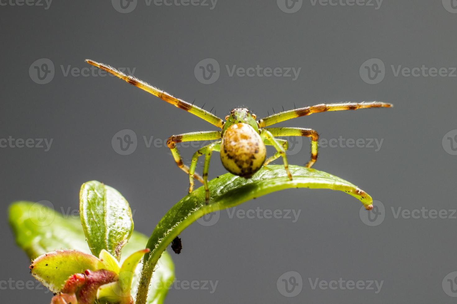 die grüne Krabbenspinne (diaea dorsata) foto