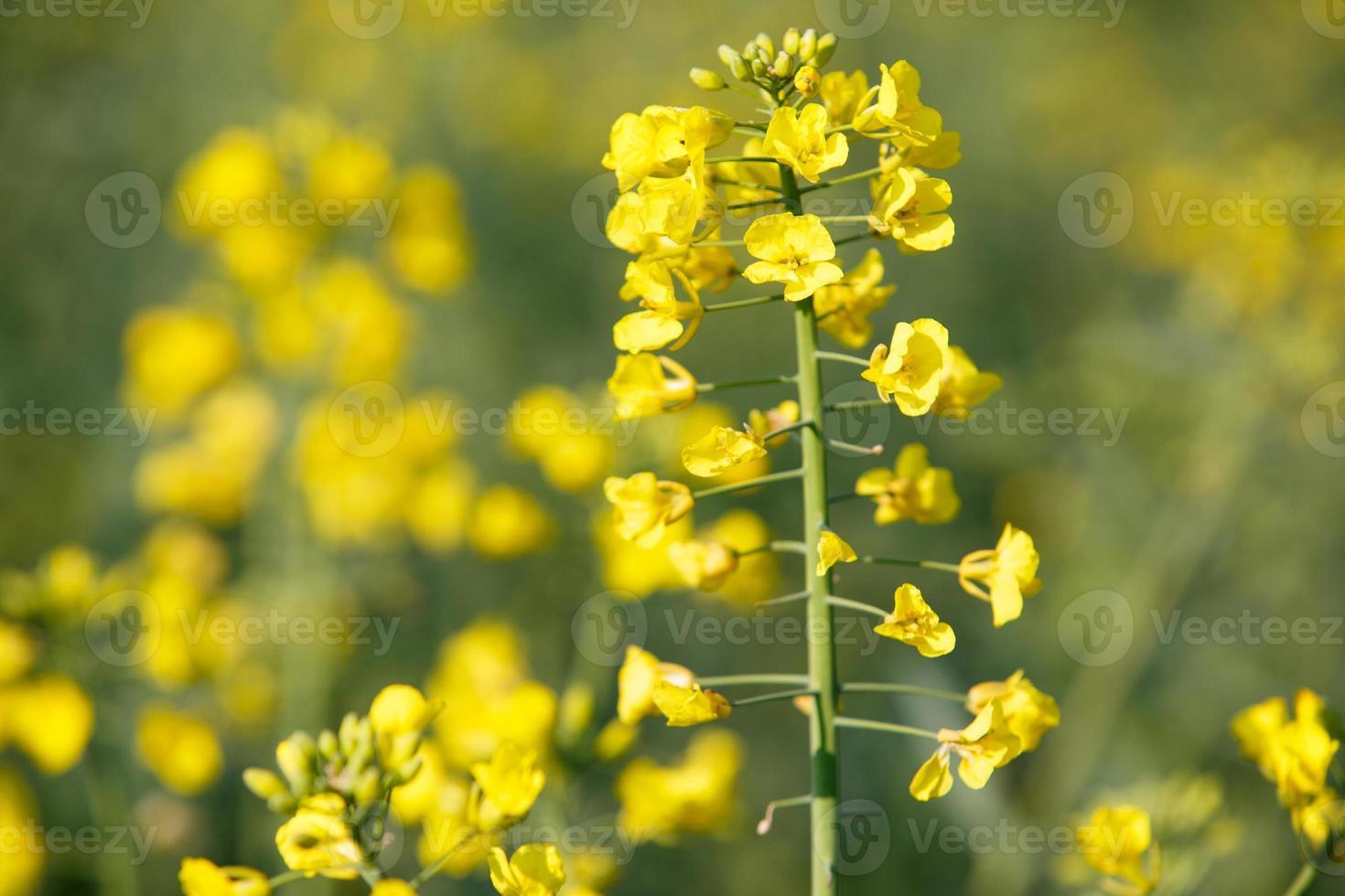 Rapspflanze foto