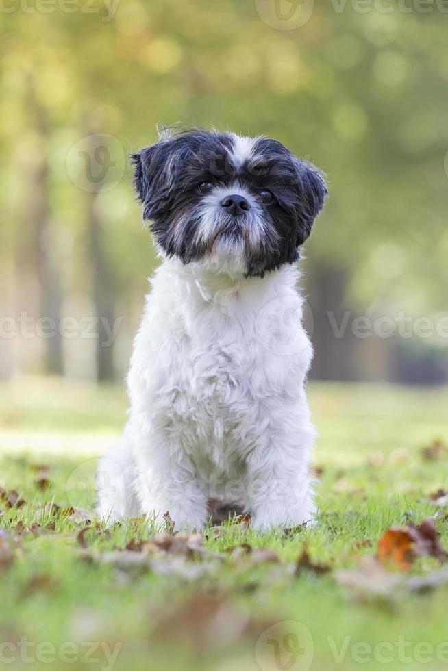 Boomer Hund sitzt im Gras foto