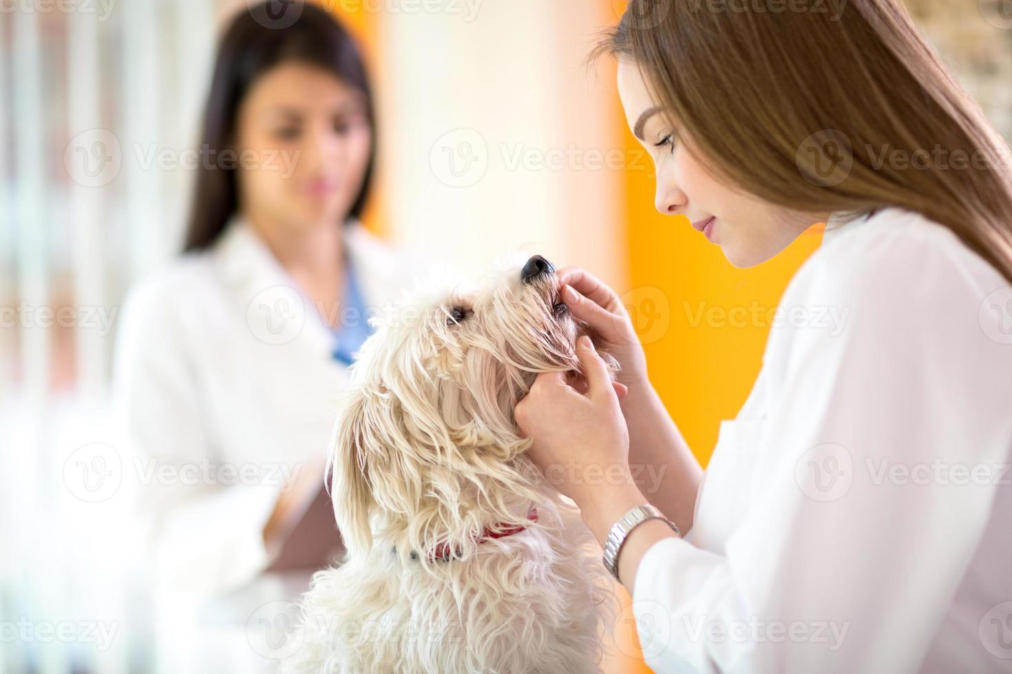 Tierarzt, der Zähne des maltesischen Hundes überprüft foto
