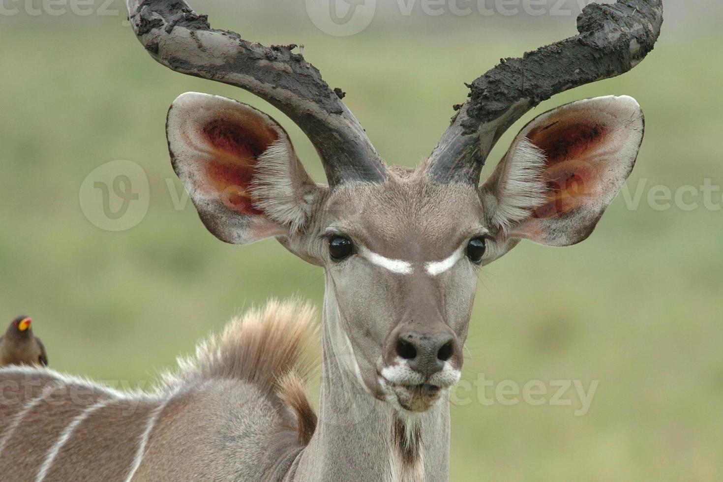 Kudu männlich foto