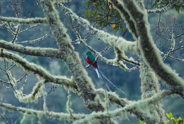 Quetzal männlich foto