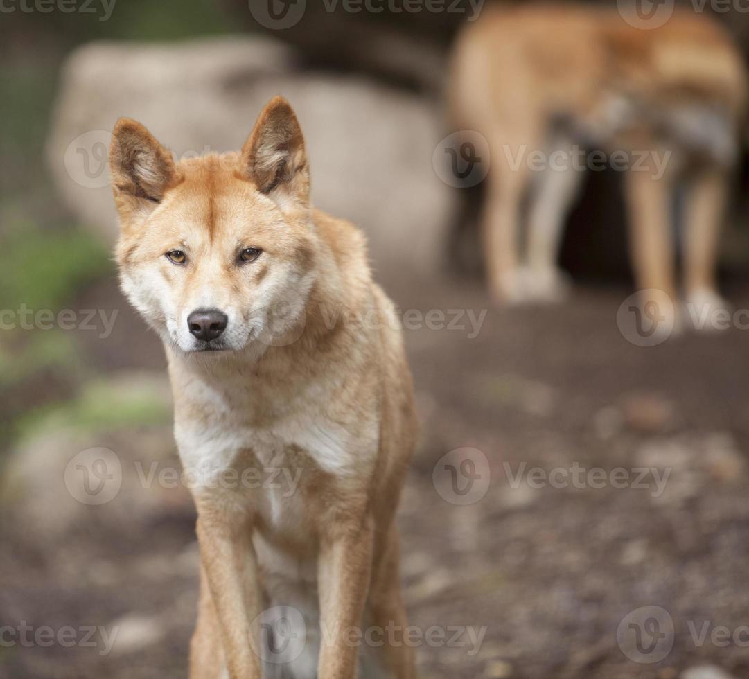 männlicher Dingo foto