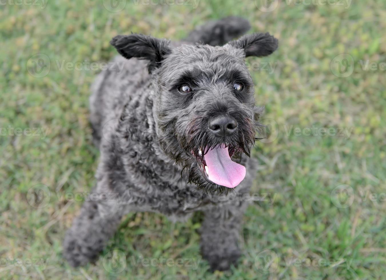 männlicher Schnauzerhund foto