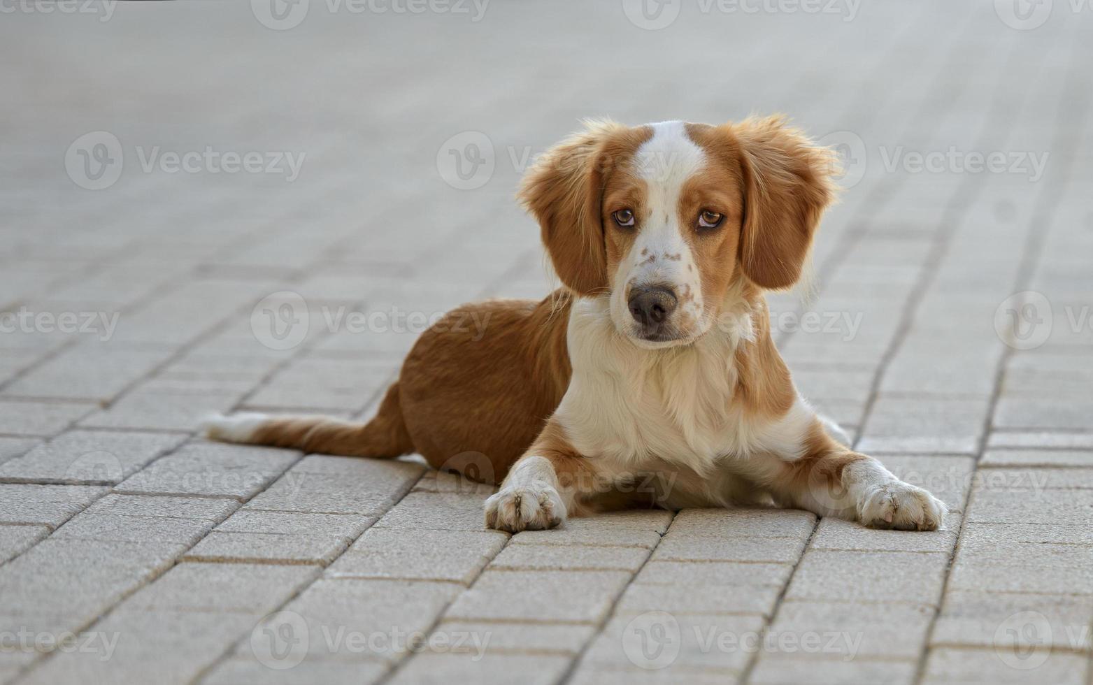 männlicher bretonischer Hund foto