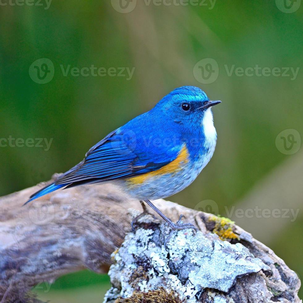 männlicher Himalaya-Bluetail foto