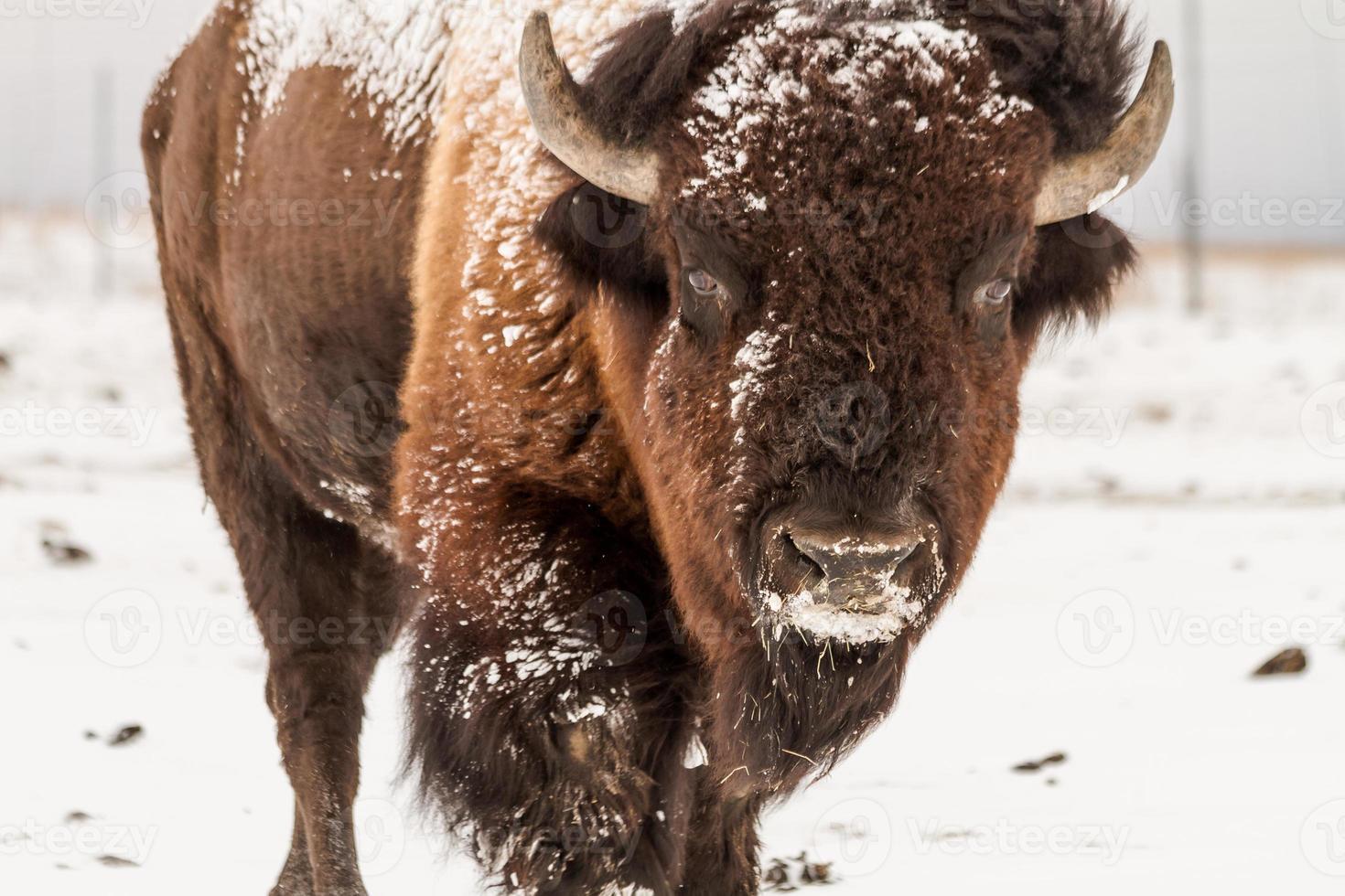 großer männlicher Büffel foto
