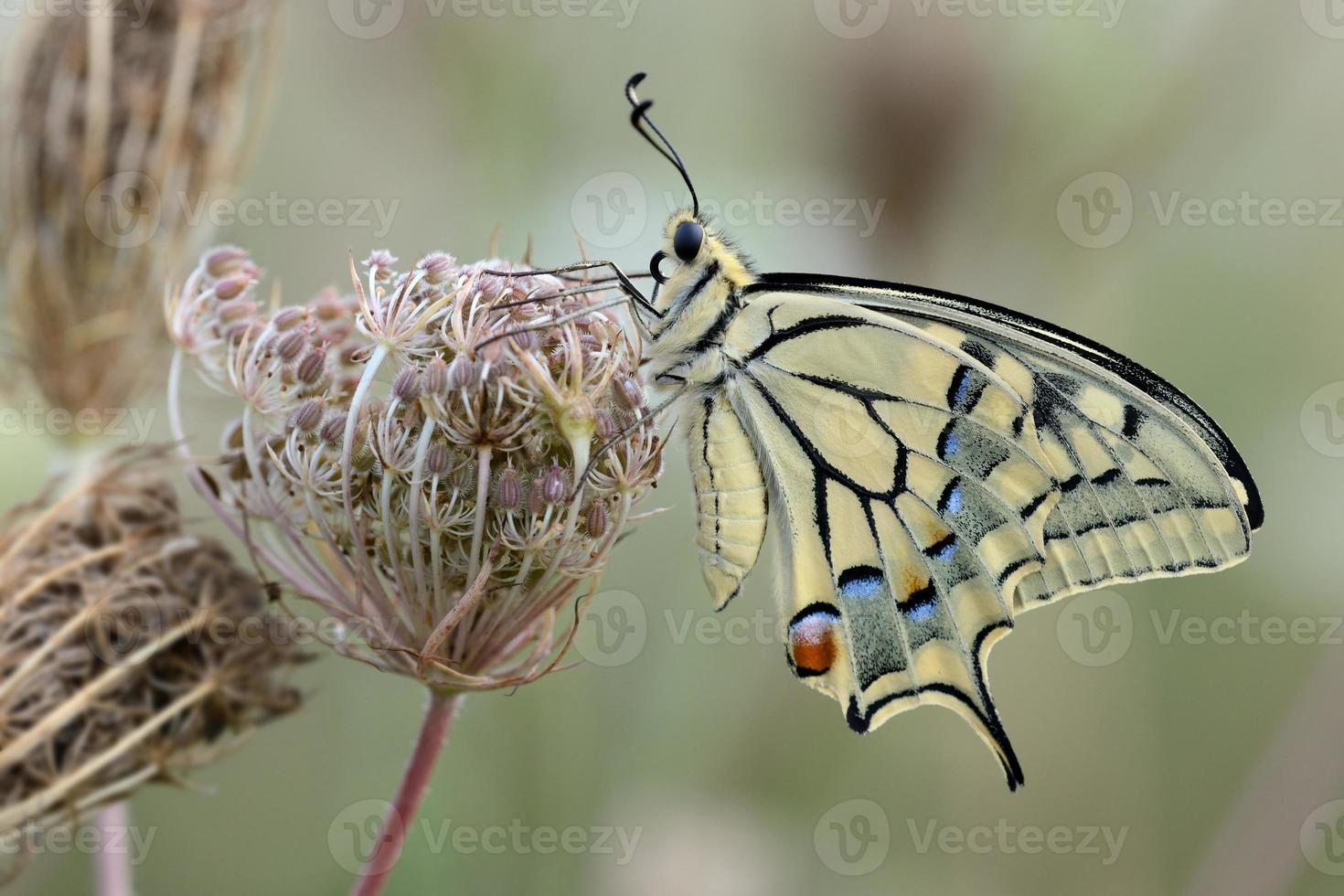 Papilio Machaon, männlich foto