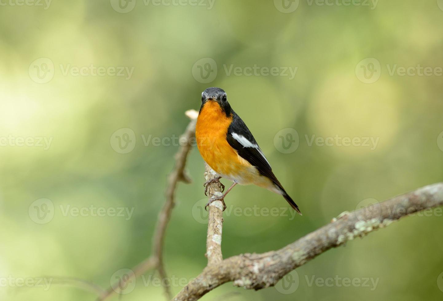 männlicher Mugimaki-Fliegenfänger foto