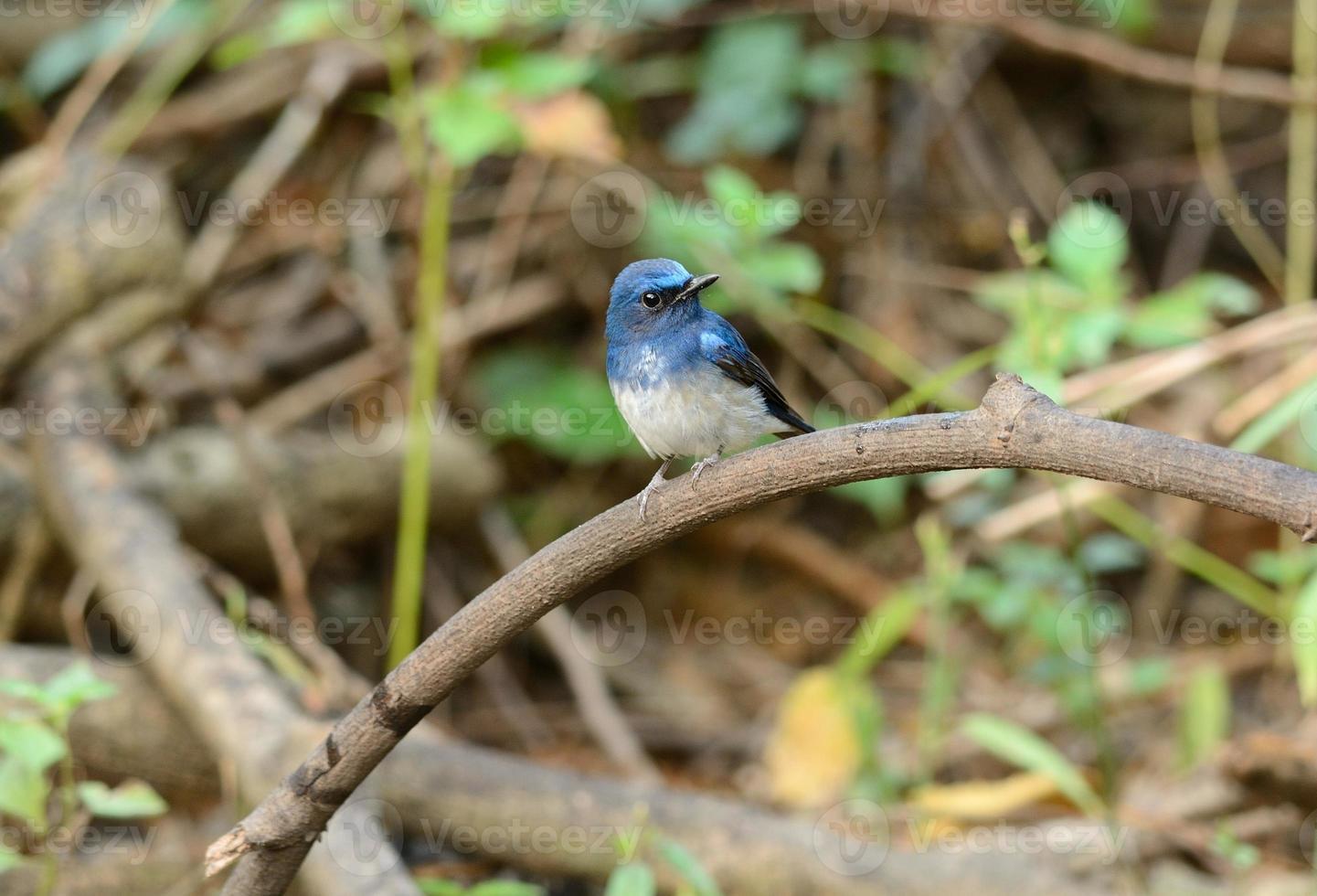 männlicher hainan blauer Fliegenfänger foto