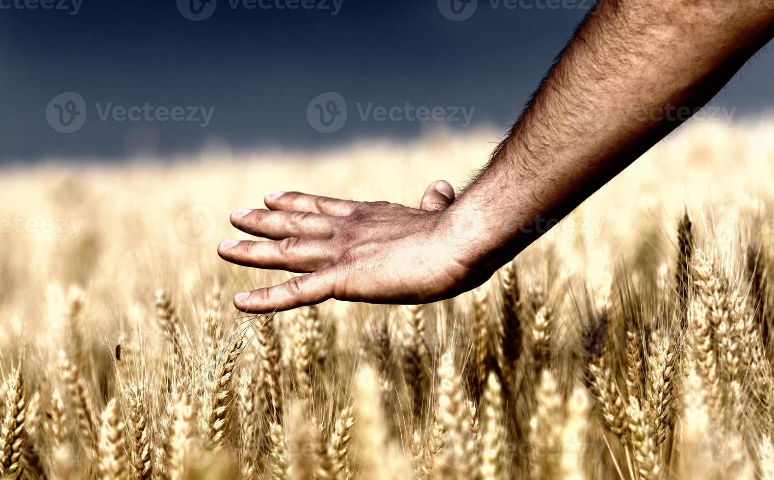 männliche Hand, die Weizen berührt foto