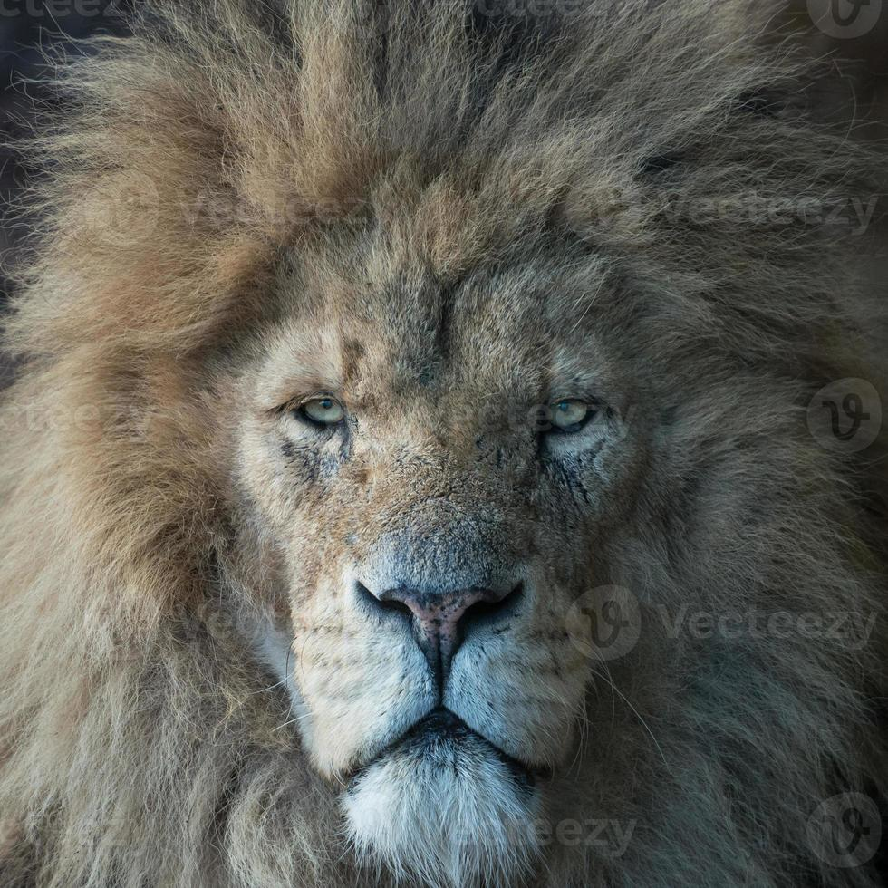 Kopf des männlichen Löwen foto