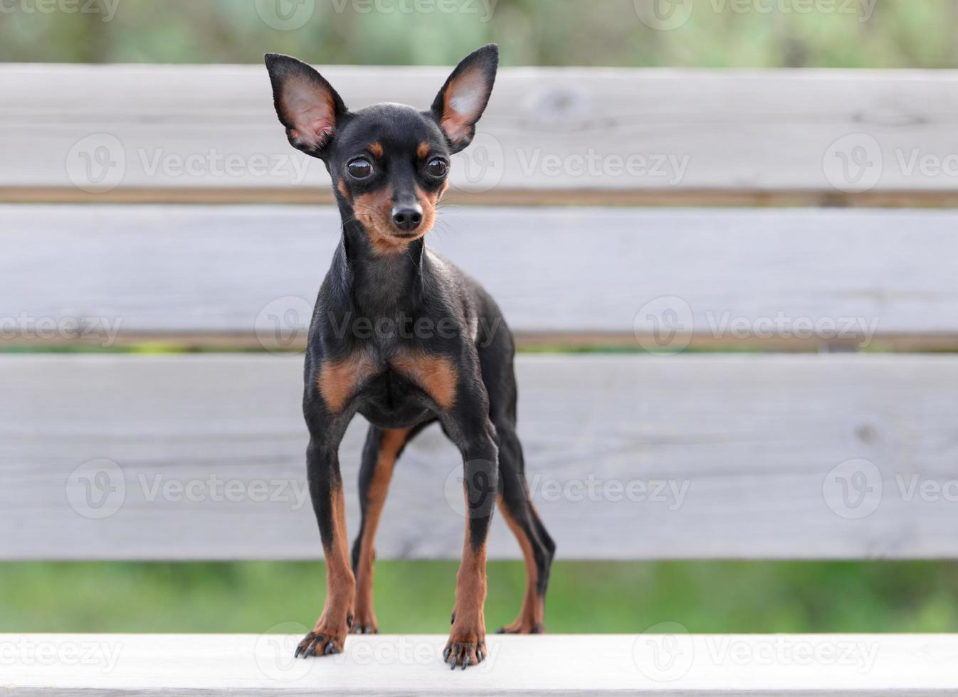 männlicher Pincher Spielzeughund foto