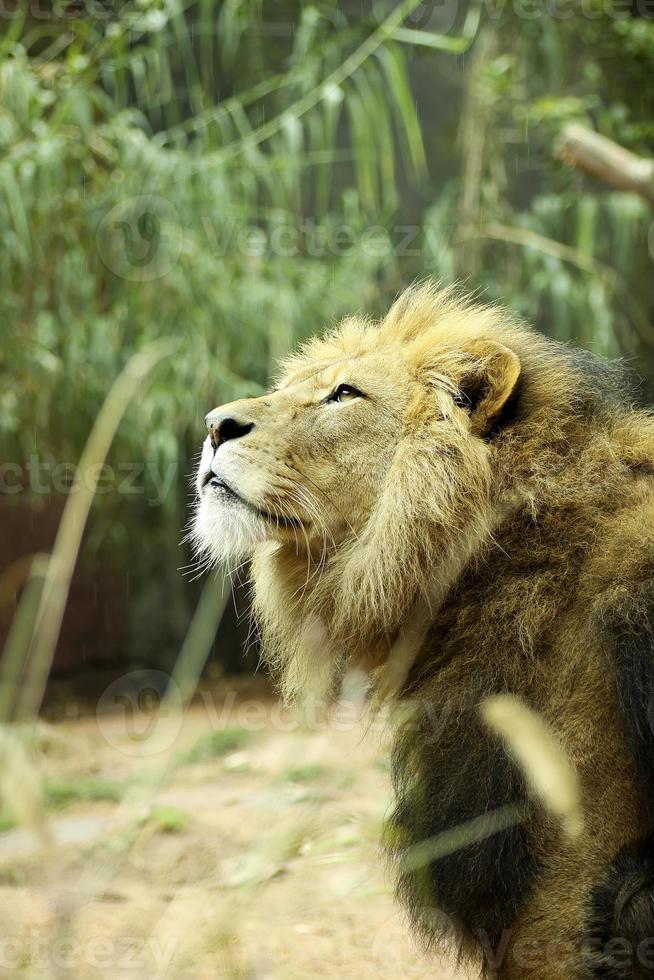 männlicher Löwe träumt von Freiheit foto