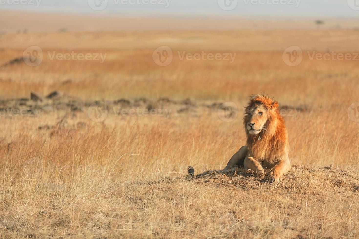 männlicher Löwe in Masai Mara foto