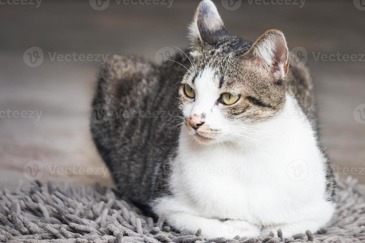 männliche Katze, die auf Teppich sitzt foto