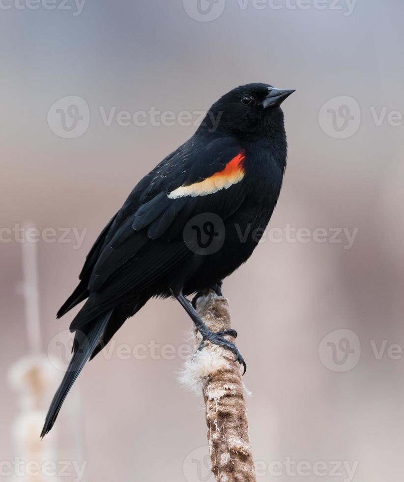 männlicher rotflügeliger schwarzer Vogel foto