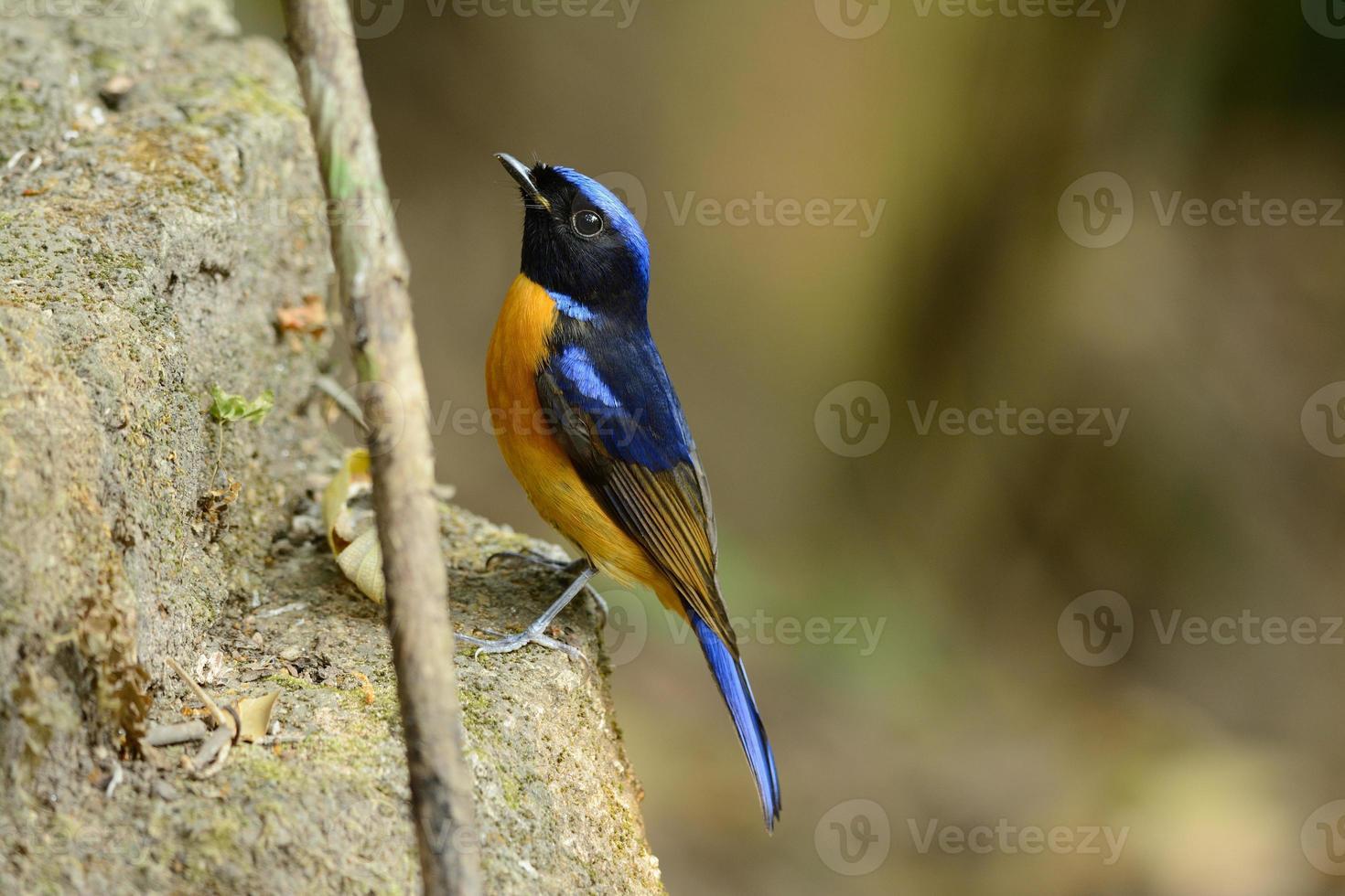 männliche rufous-bellied Niltava (Niltava Sundara) foto