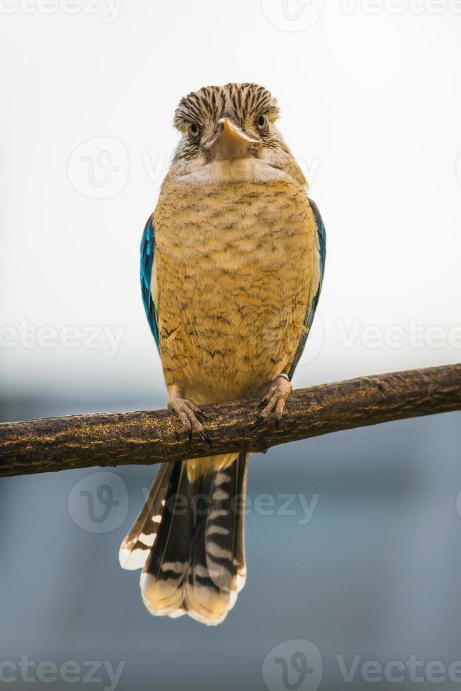 Porträt des männlichen blauflügeligen Kookaburra foto