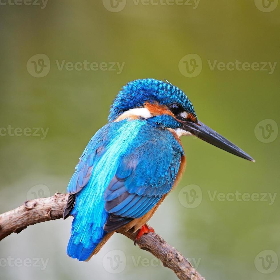 männlicher Eisvogel foto