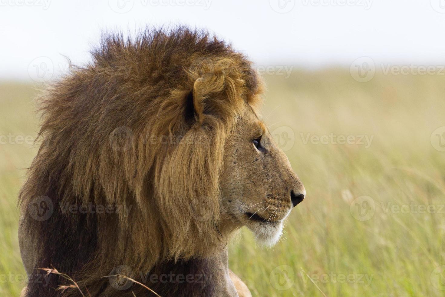 Porträt eines männlichen Löwen foto