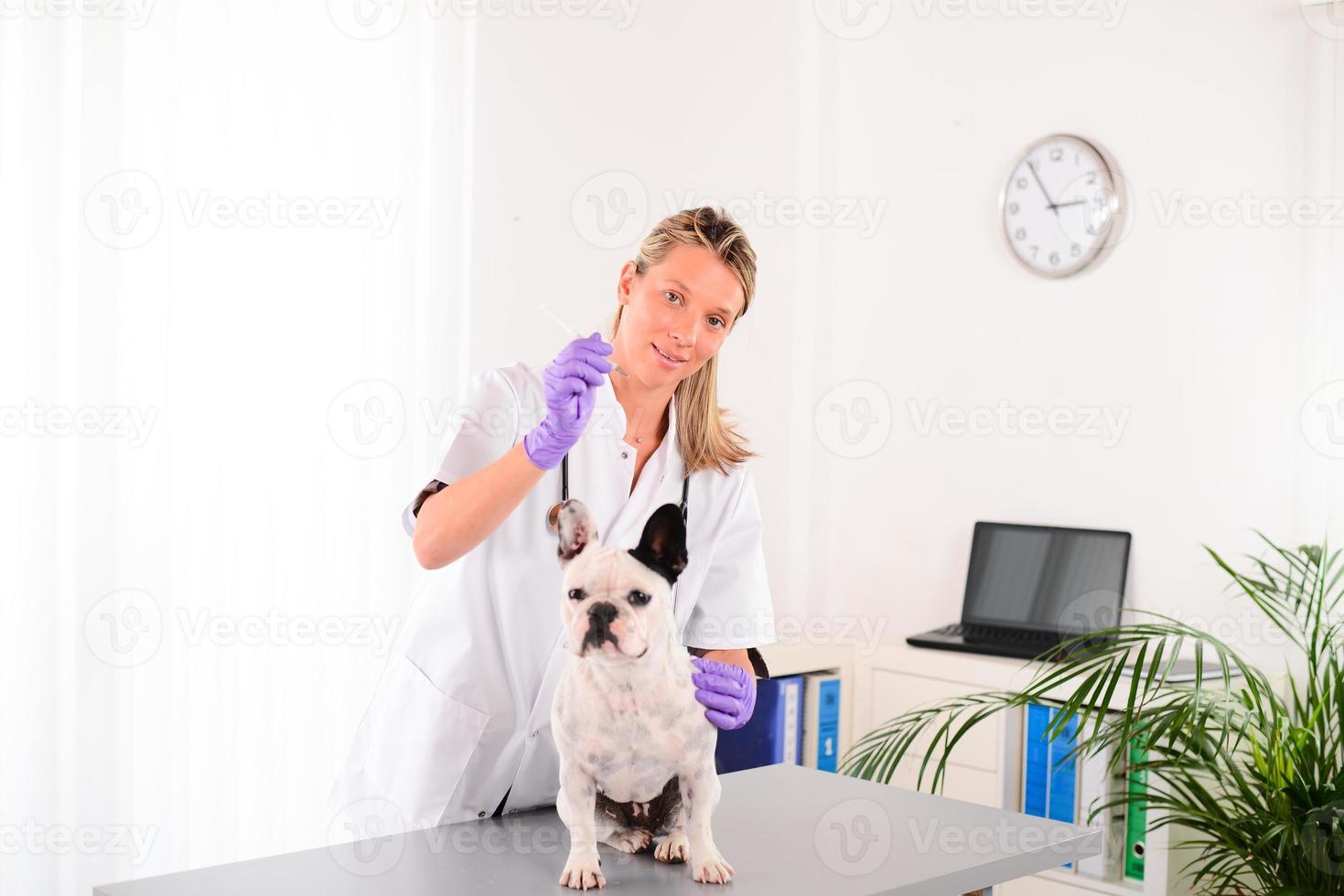 fröhlicher junger Tierarzt, der sich um die französische Bulldogge des Haustierhundes kümmert foto