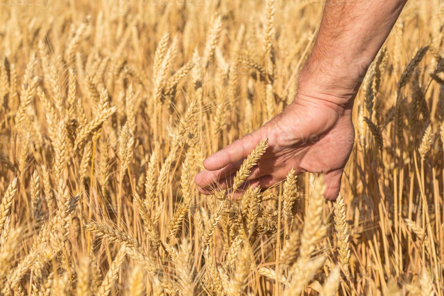 reife goldene Weizenähren in ihrer Hand foto