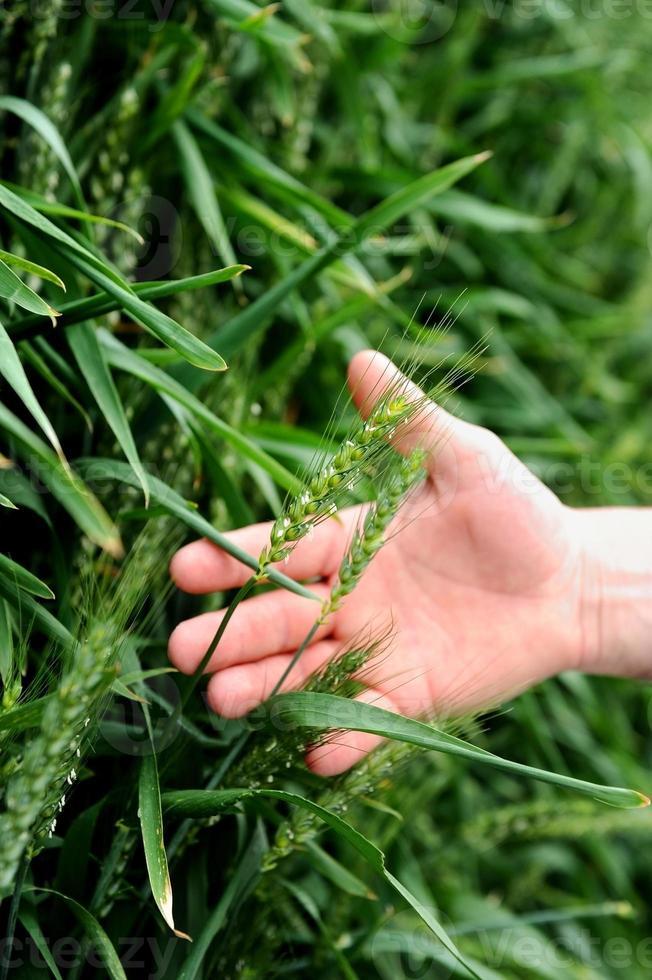 Hand in einem grünen Weizenfeld foto