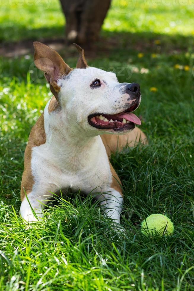 Hund mit Tennisball foto
