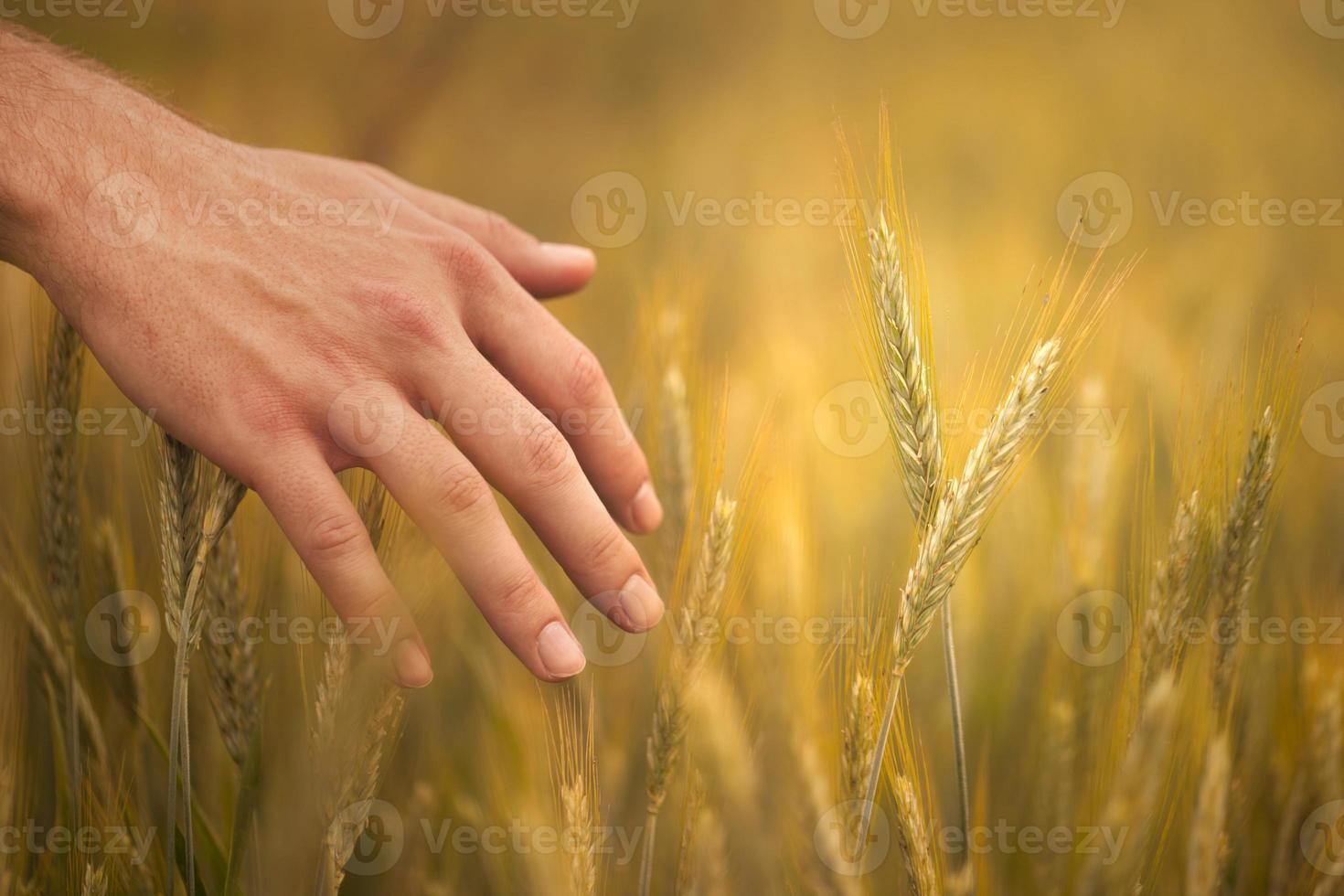 junger Bauer auf dem Feld, der seine Weizenähren berührt foto
